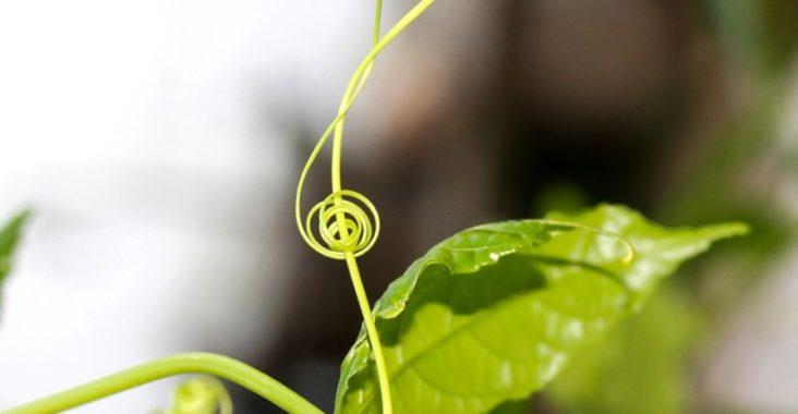 Plante en forme de clé de sol